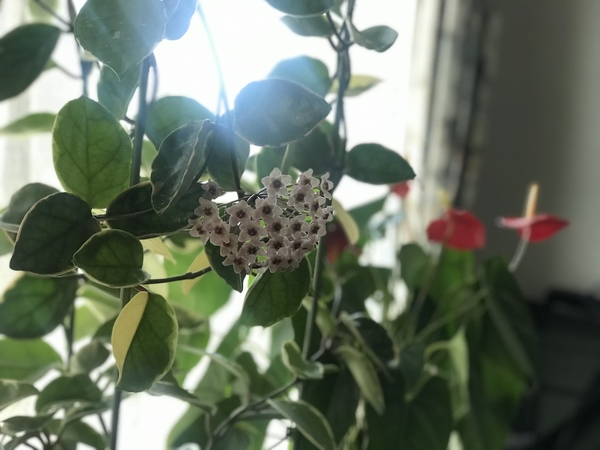 桜蘭が咲きました。シミシワタルミシミシワタルミ#エンビロン